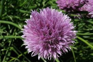Wild Chive Flower